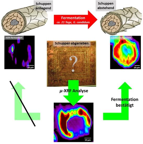 Die Fermentation von Schafwolle vor dem Färben führt zu einer erhöhten Brillanz und Langlebigkeit der Farbe. Fermentierte Wolle erkennt man an abstehenden Schuppenschichten oder an einer charakteristischen Verteilung der Pigmente entlang des Faserquerschnitts. Letztere ist in den abgebildeten Röntgenfluoreszenzbildern zu sehen (links). Bei den Pazyryk-Fasern ist die Schuppenschicht abgefallen (rechts). Der Einfluss der Fermentation kann aber noch durch den Vergleich der Fluoreszenzbilder (unten) mit denen von rezenten Standards nachgewiesen werden. (Bild: FAU/Dr. Andreas Späth)